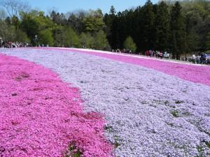 秩父芝桜①